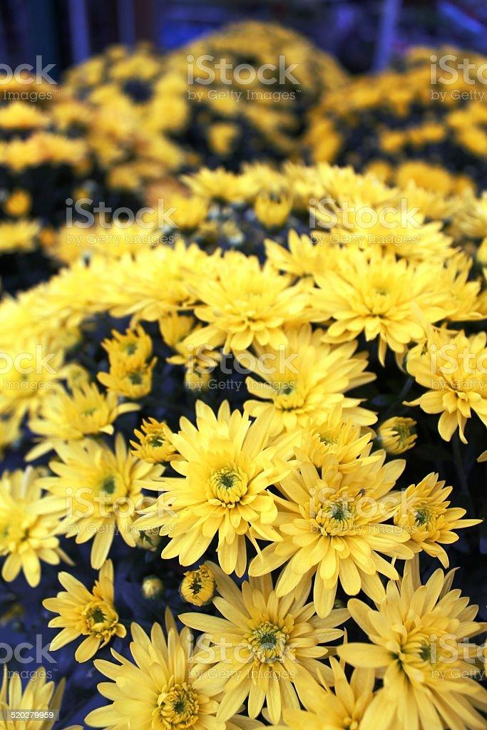 crisantemi gialli stock photo