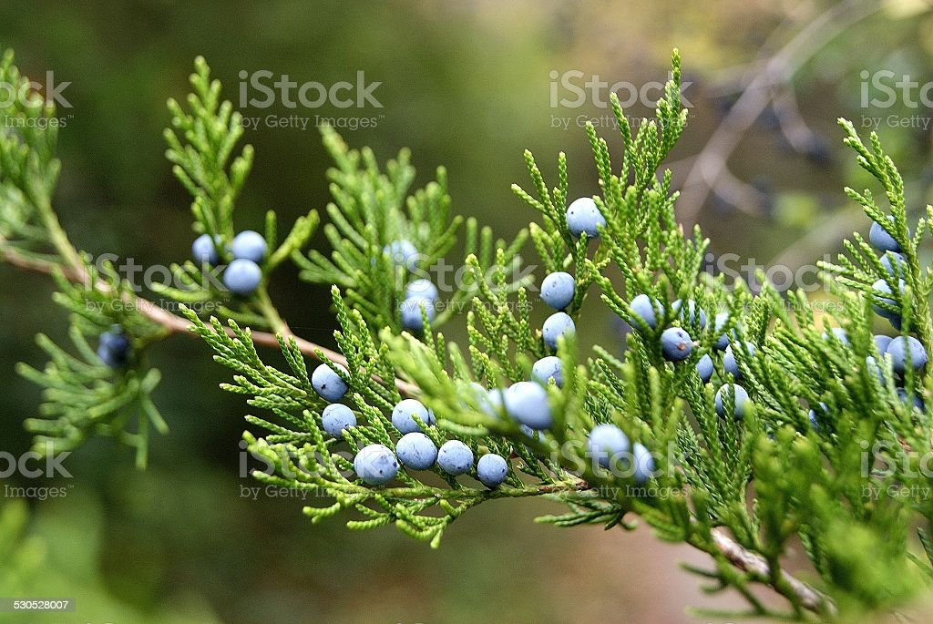 Crisp Berries on Cedar royalty-free stock photo