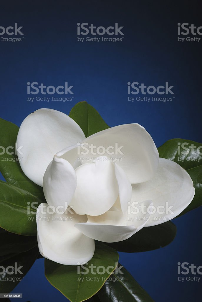 Crisp white magnolia flower blossom with green leaves stock photo