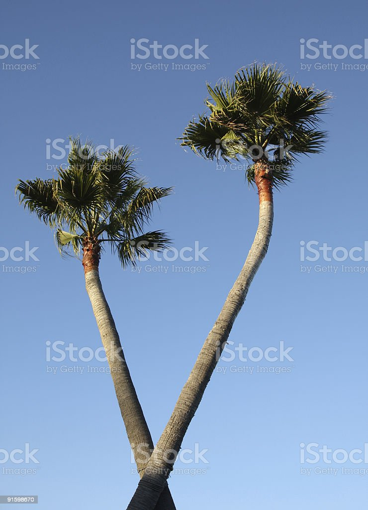 CrissCross Palms royalty-free stock photo
