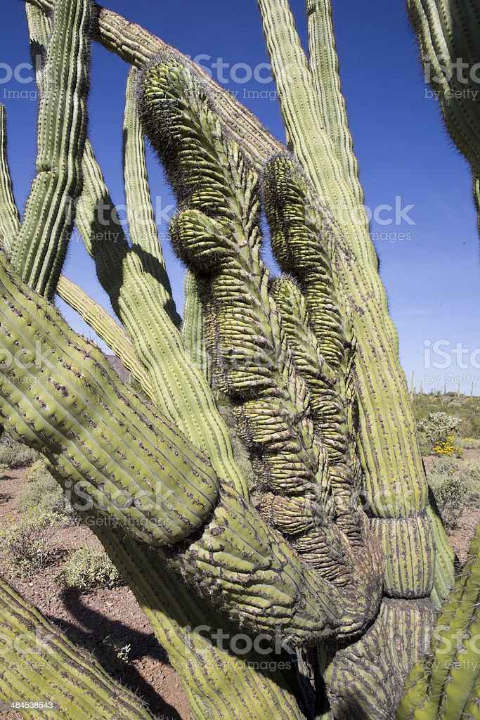 Cristate in a Cactus royalty-free stock photo