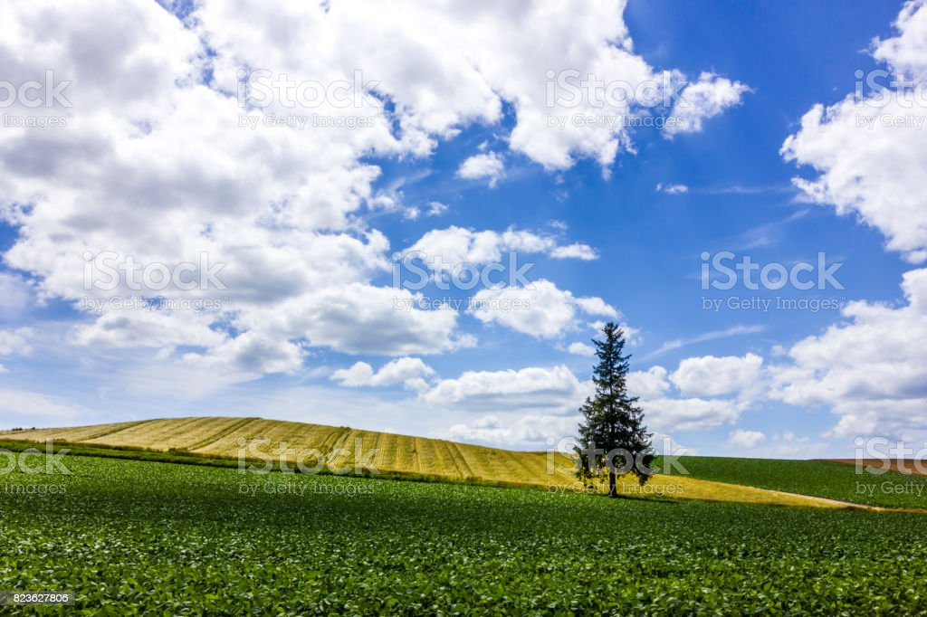 Cristmas Tree of Biei stock photo