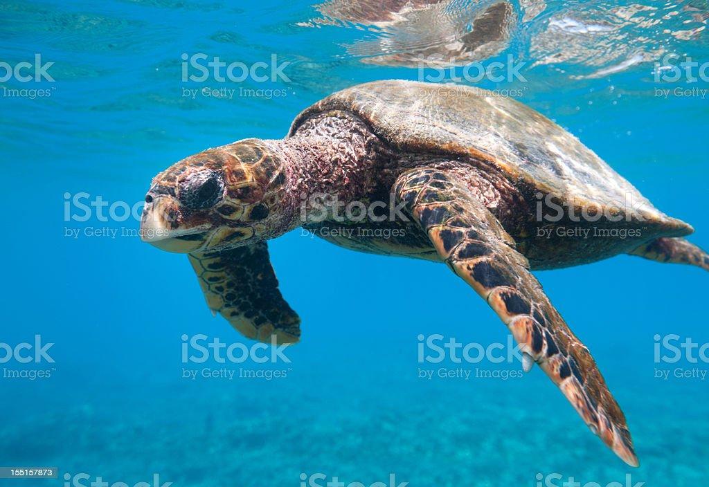 Critically endangered Hawksbill Sea Turtle (Eretmochelys imbricata) in Wildlife (XXXL) stock photo