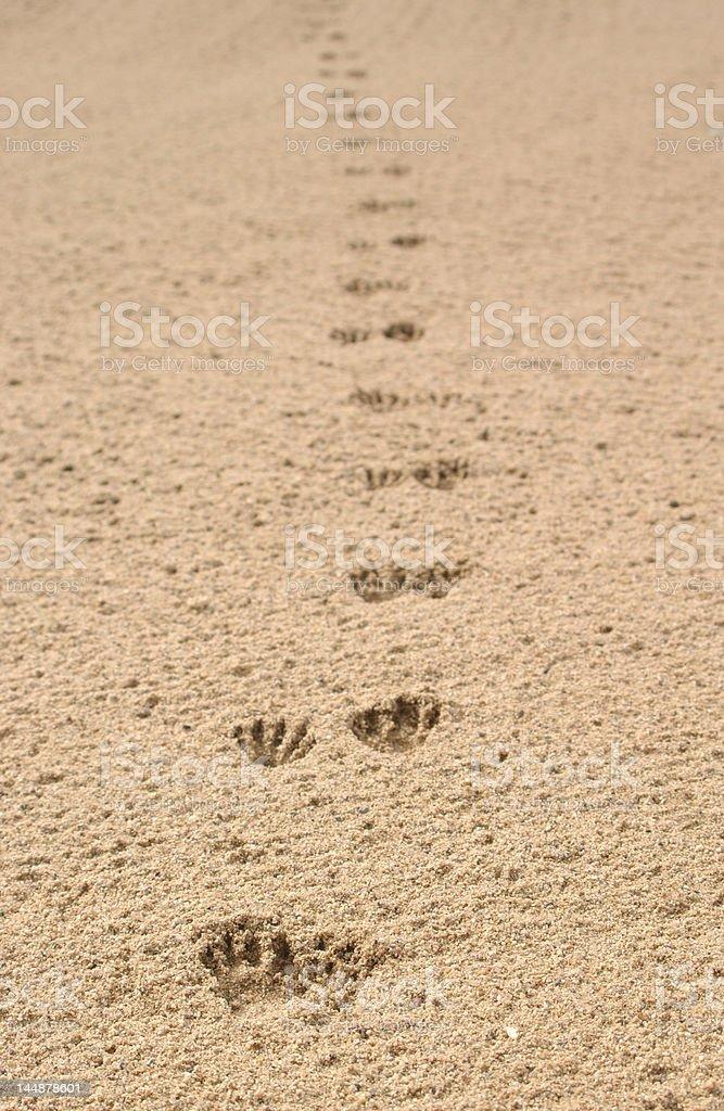 Critter tracks through sand royalty-free stock photo