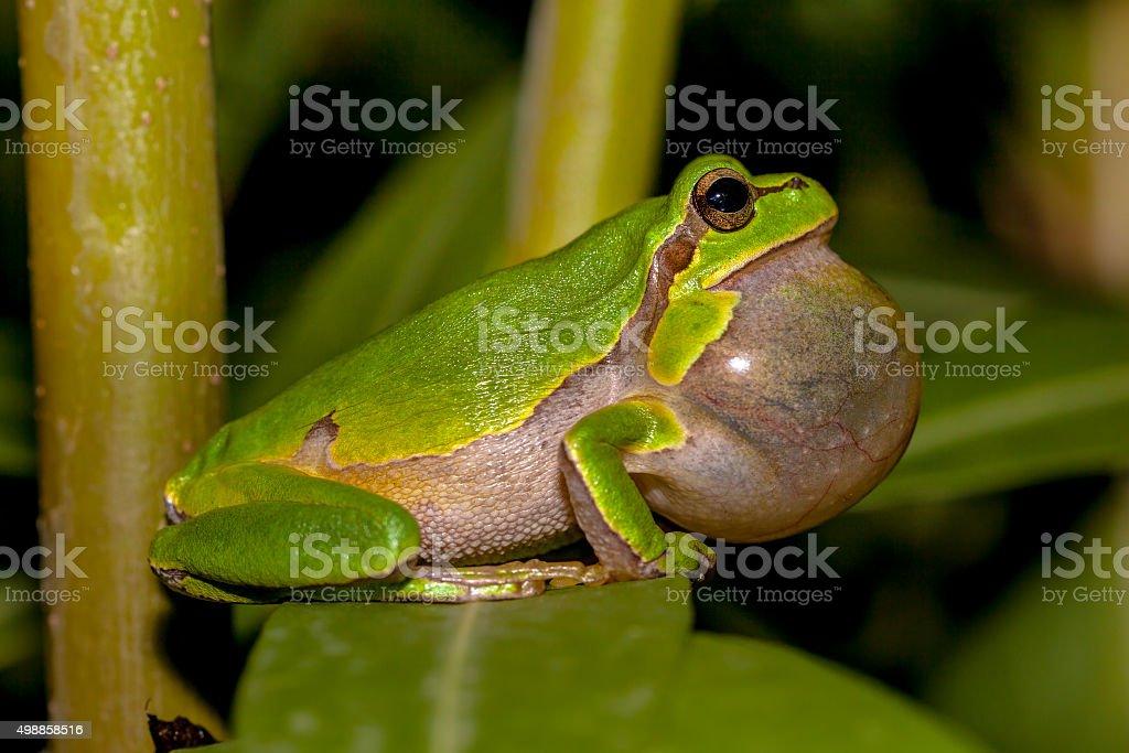 Croaking European tree frog stock photo