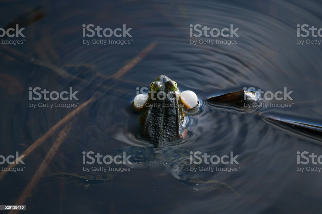 Croaking frog in a swamp stock photo