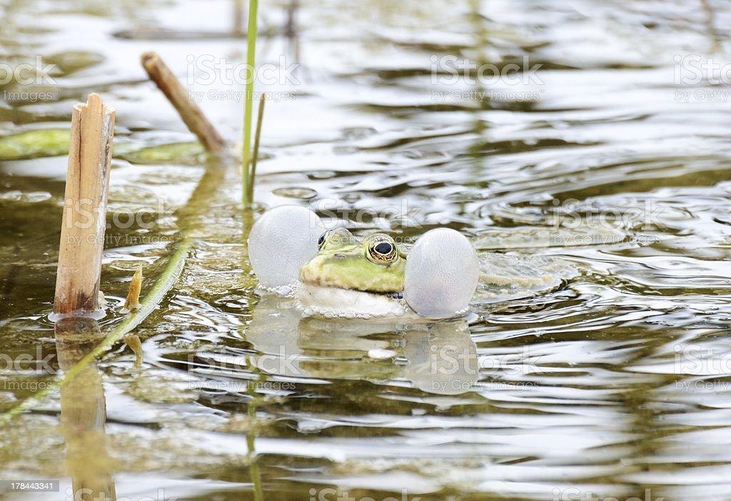 Croaking Frog stock photo