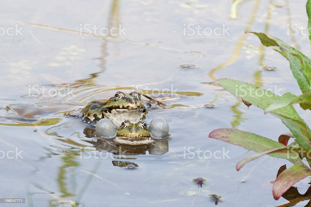 croaking frog with vocal sac stock photo