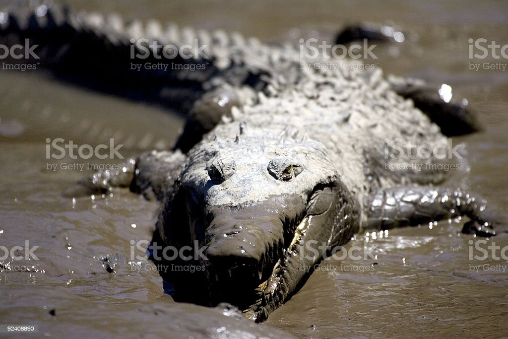 Croc 2 royalty-free stock photo