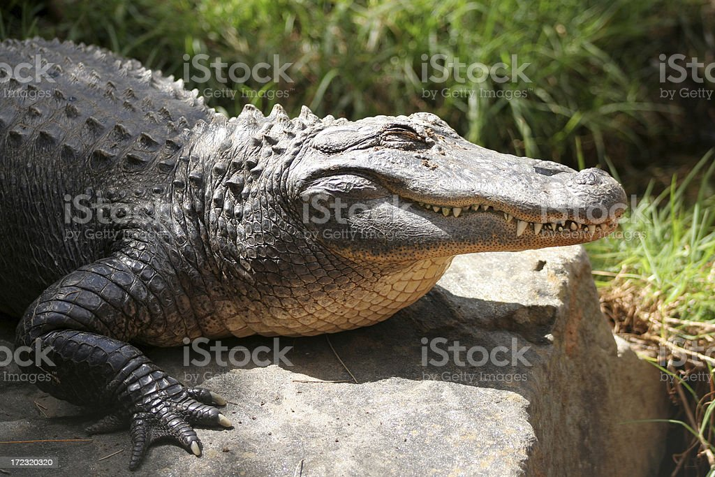 Croc in the sun royalty-free stock photo