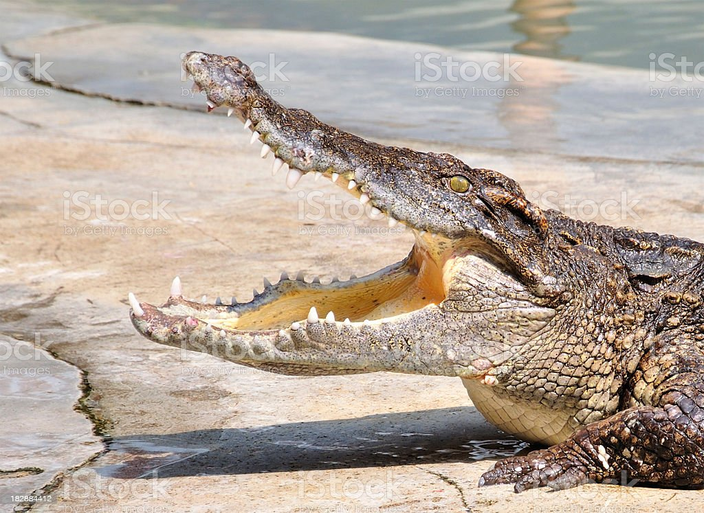 Croc royalty-free stock photo