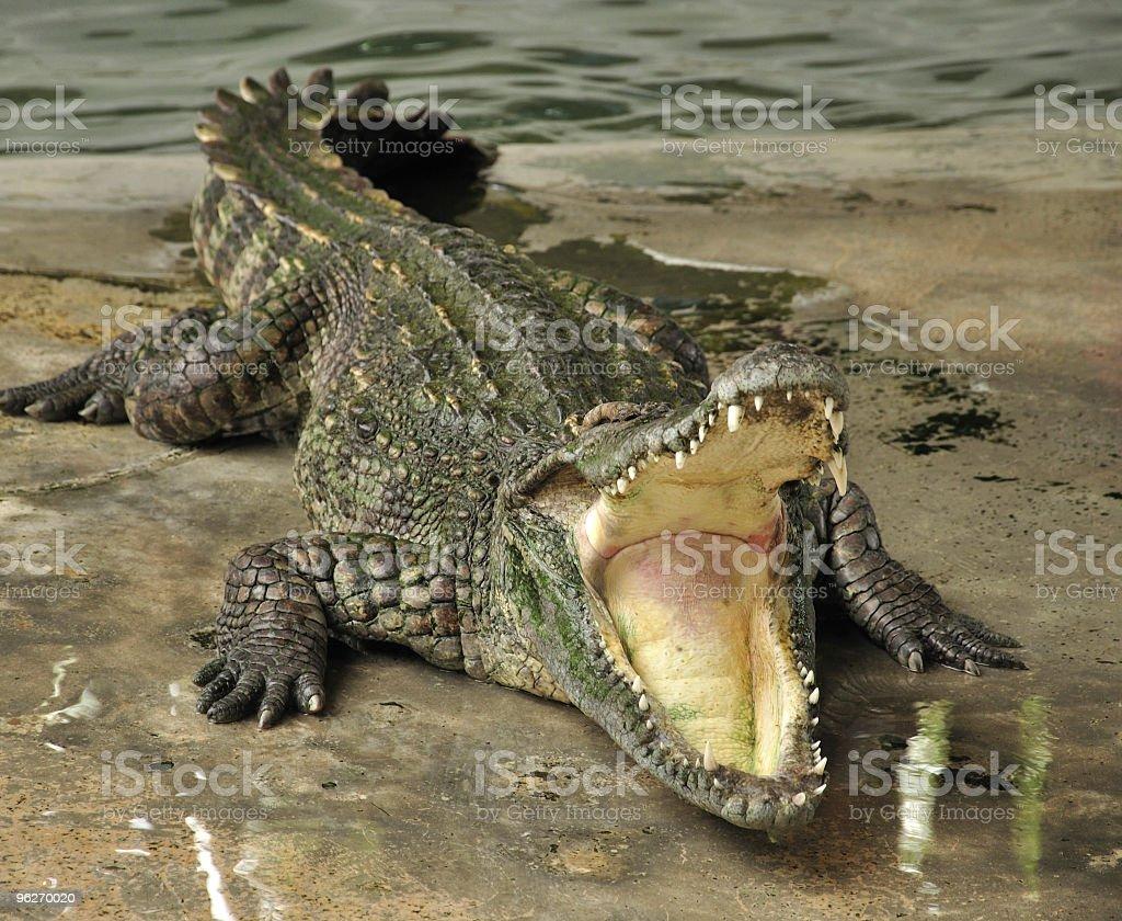 Croc stock photo