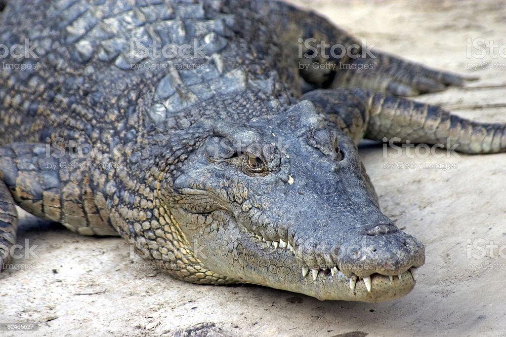 Croc waiting royalty-free stock photo