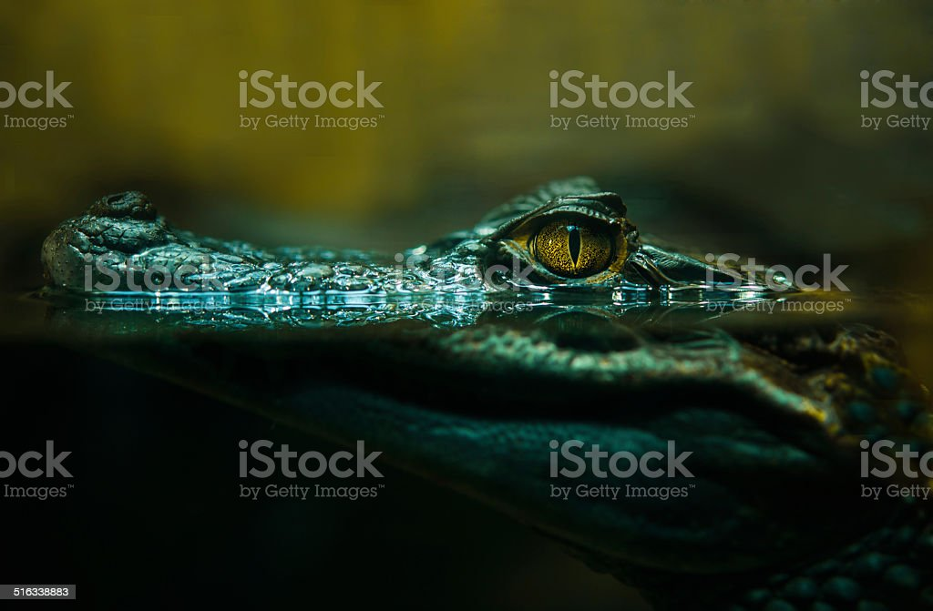crocodile alligator close up stock photo
