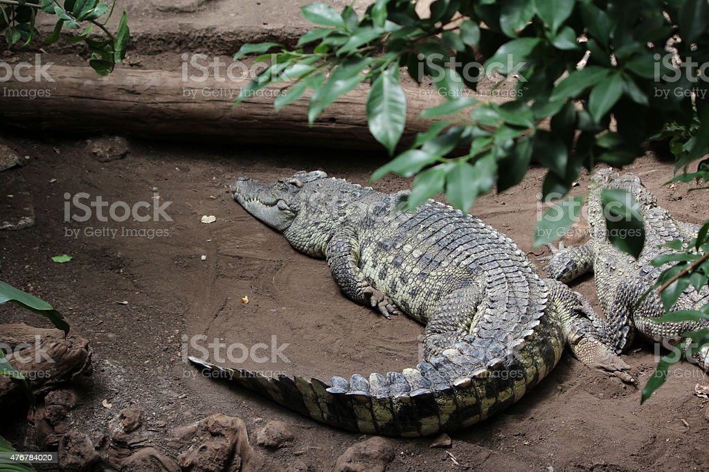Crocodile, Alligator stock photo