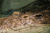 crocodile are semiaquatic and tend to congregate in freshwater h