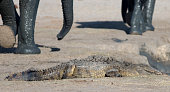 Crocodile basking with elephant legs in the background