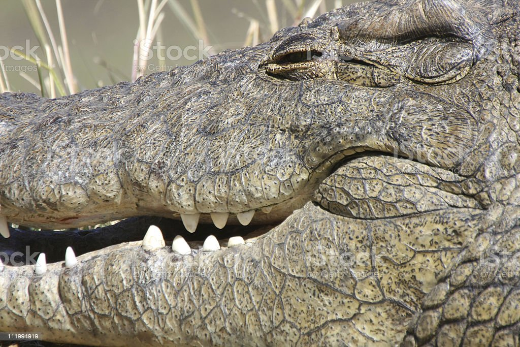 crocodile close-up royalty-free stock photo