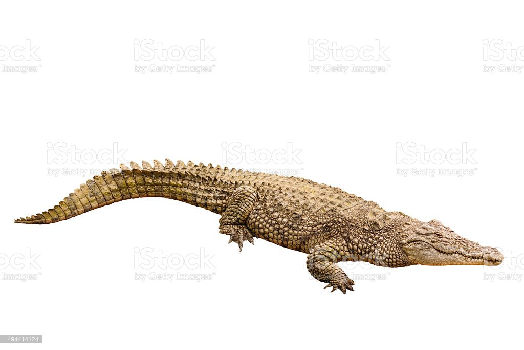 Crocodile, cut out on white background stock photo