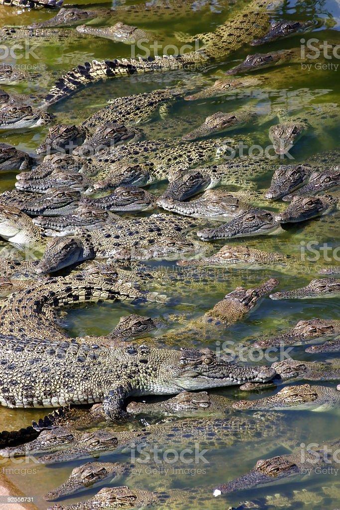 Crocodile Danger stock photo