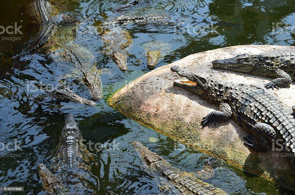 Crocodile du Nil royalty-free stock photo