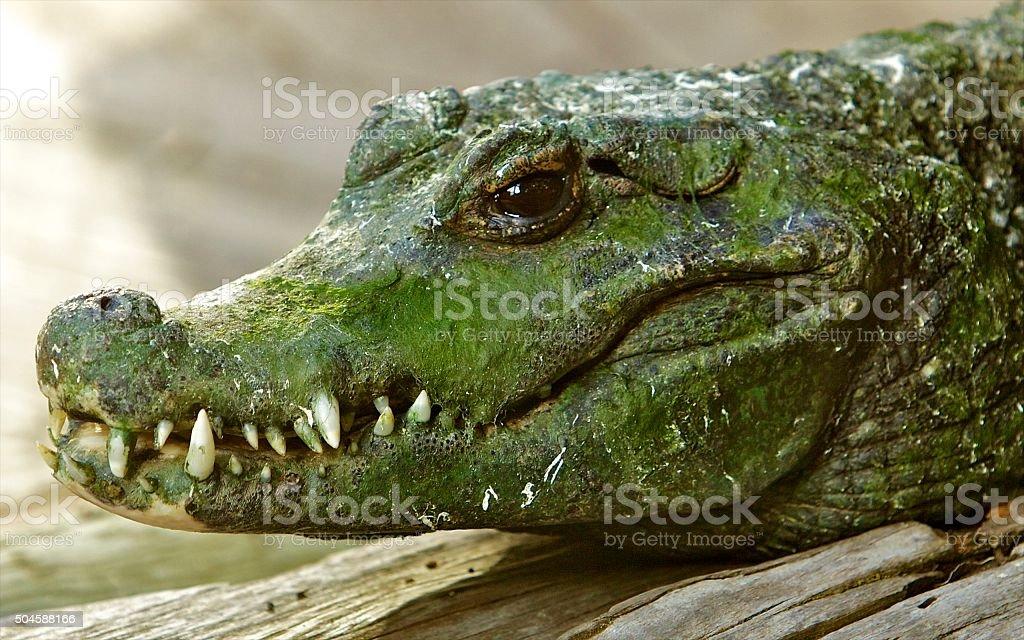 Crocodile, Dwarf stock photo
