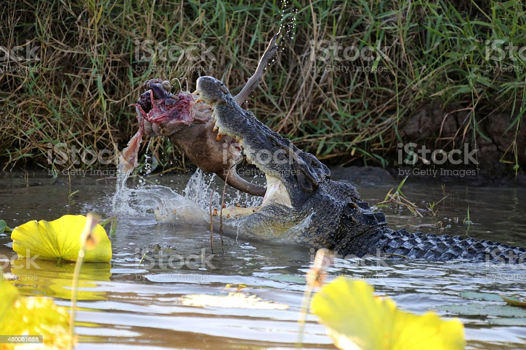 Crocodile Eating Kangaroo in The Wild stock photo