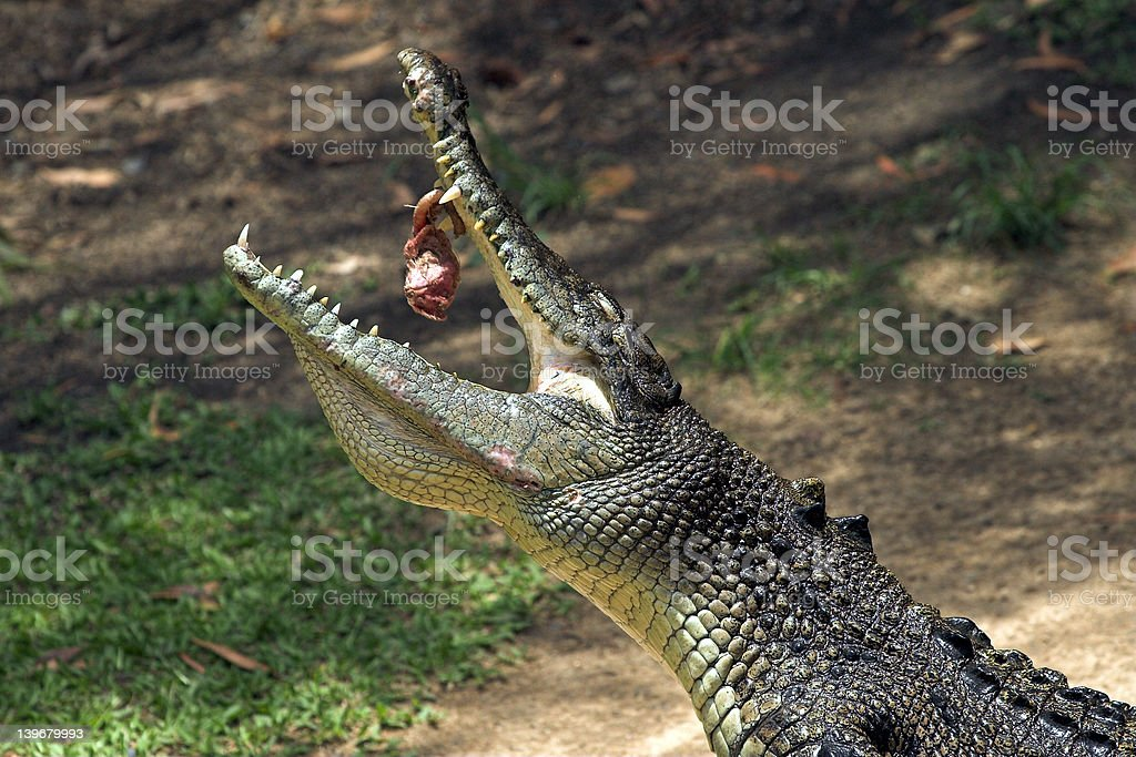 Crocodile Feeding royalty-free stock photo
