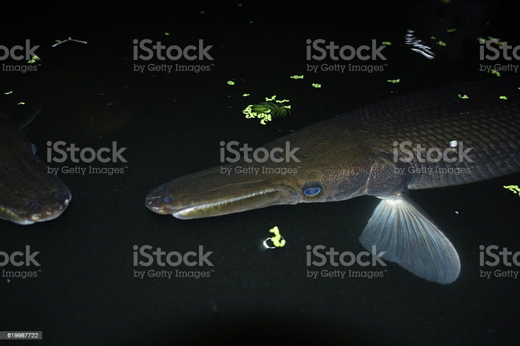 Crocodile fish stock photo