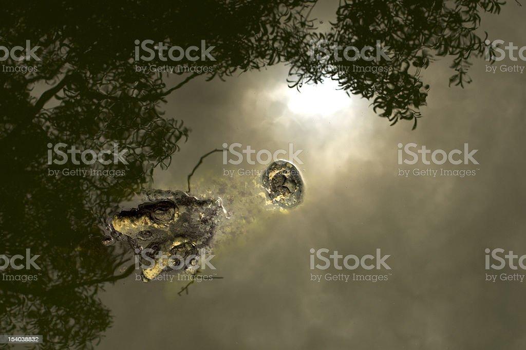 Crocodile Head royalty-free stock photo