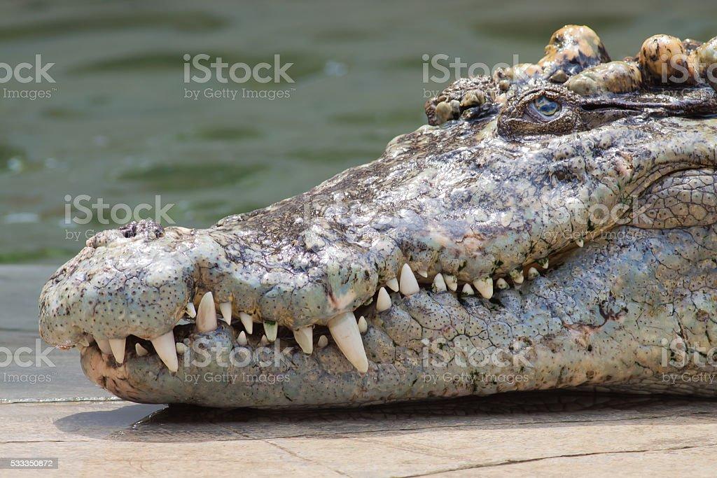 Crocodile head with sharp fang stock photo