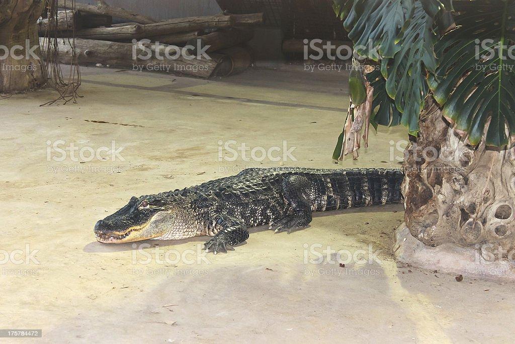 Crocodile in  aviary on the farm royalty-free stock photo