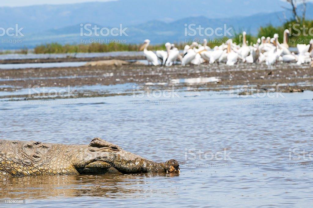 Crocodile in Ethiopia on Lake Chamo stock photo