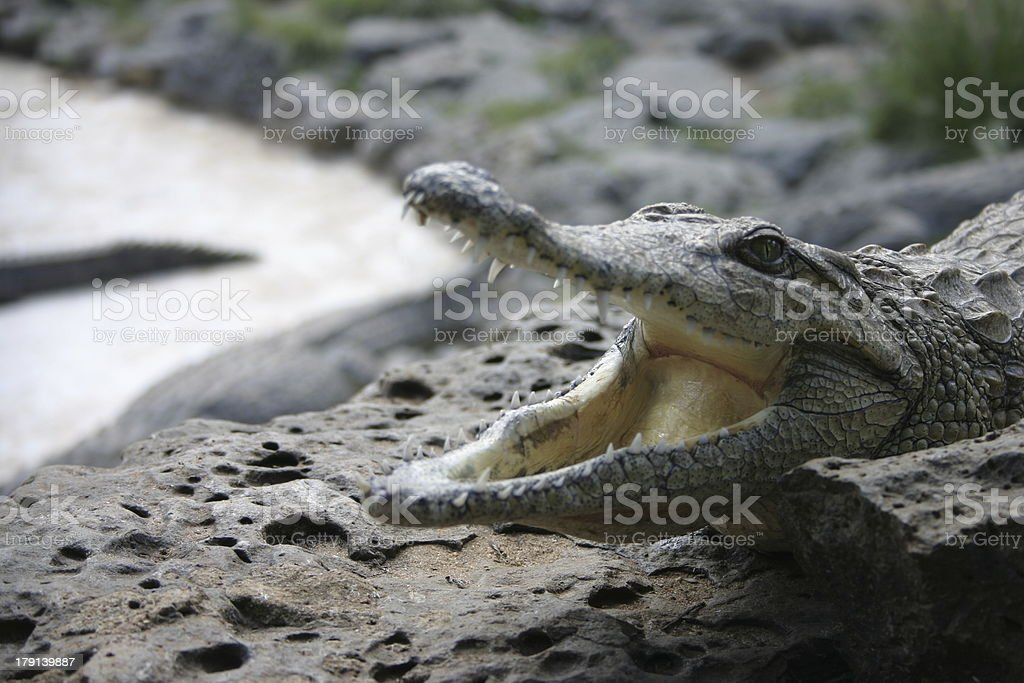 Crocodile in Farm, Kenya, Africa royalty-free stock photo