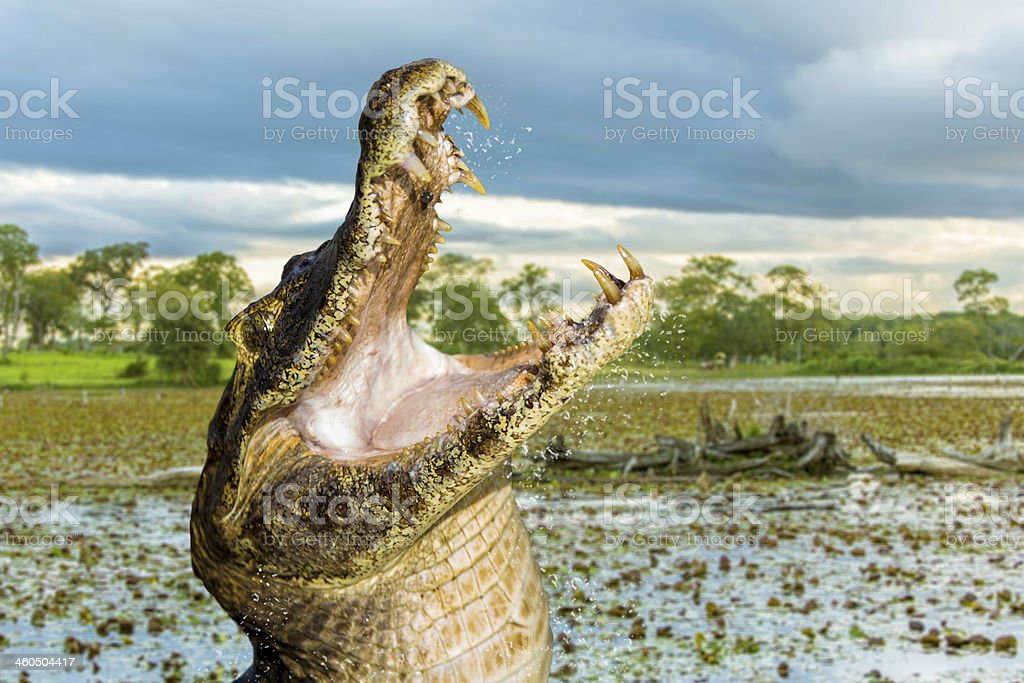 Crocodile in Pantanal River, Brazil stock photo