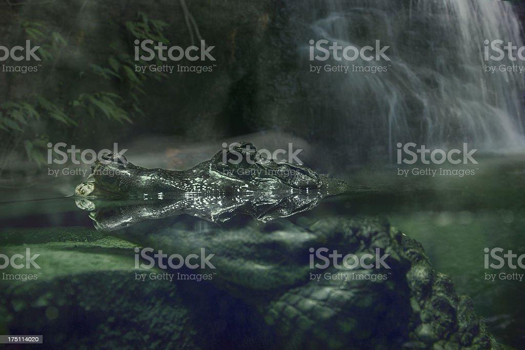 Crocodile in river royalty-free stock photo