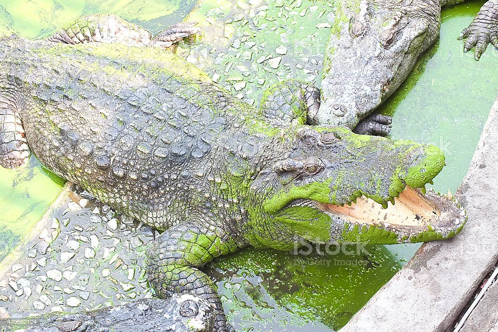 Crocodile in river stock photo