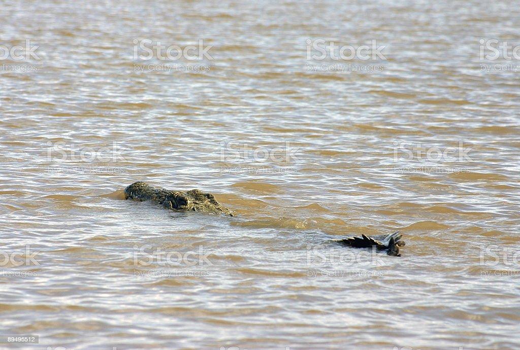 Crocodile inside Lake Chamo stock photo