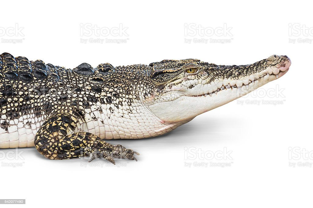 Crocodile isolated stock photo