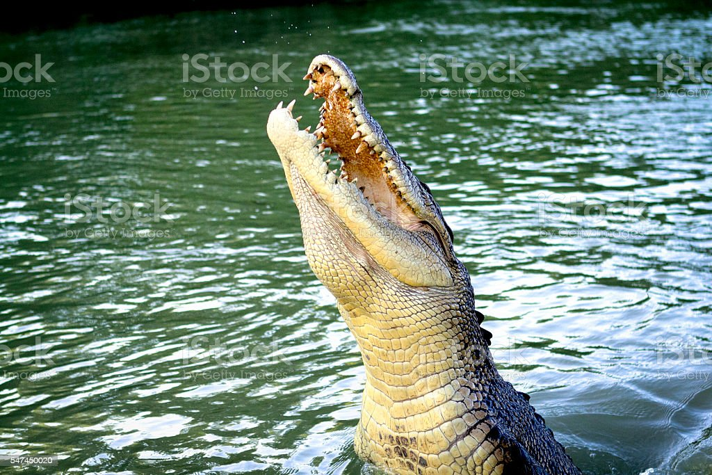 Crocodile jumping out of water for food stock photo