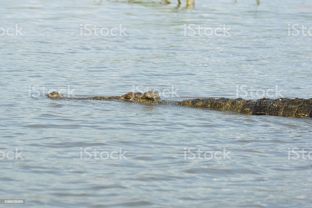 Crocodile, Lake Chamo, Ethiopia, Africa stock photo