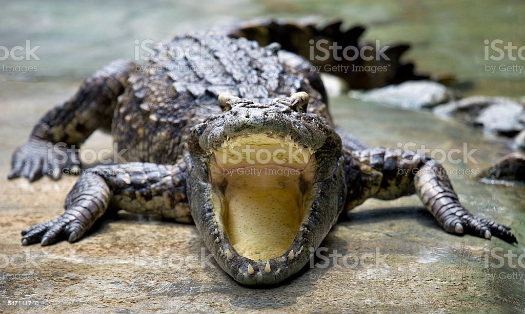 Crocodile open its mouth stock photo