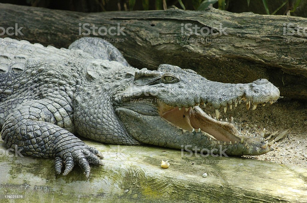 Crocodile open mouth royalty-free stock photo