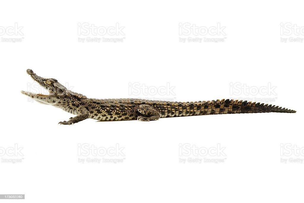 crocodile stock photo