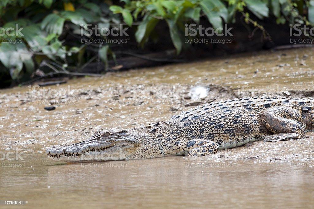 Crocodile royalty-free stock photo