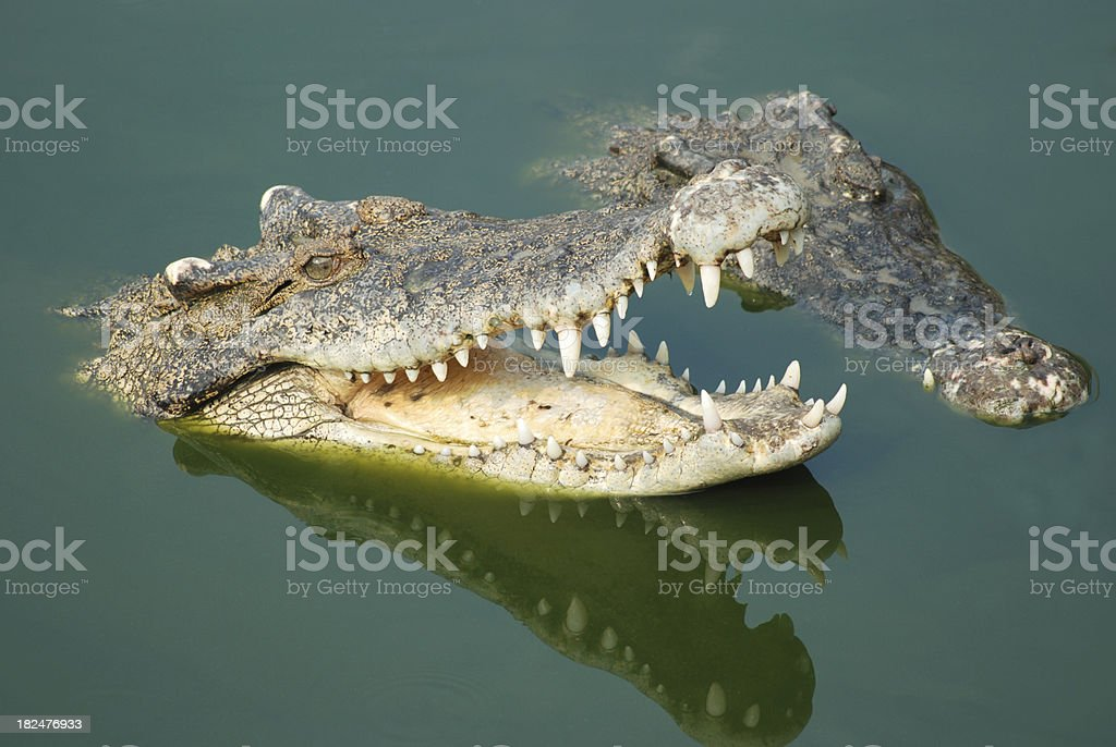 Crocodile royalty-free stock photo