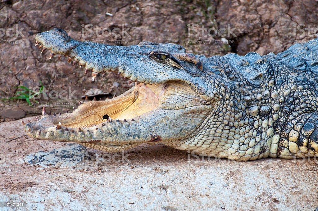 Krokodyl zbiór zdjęć royalty-free