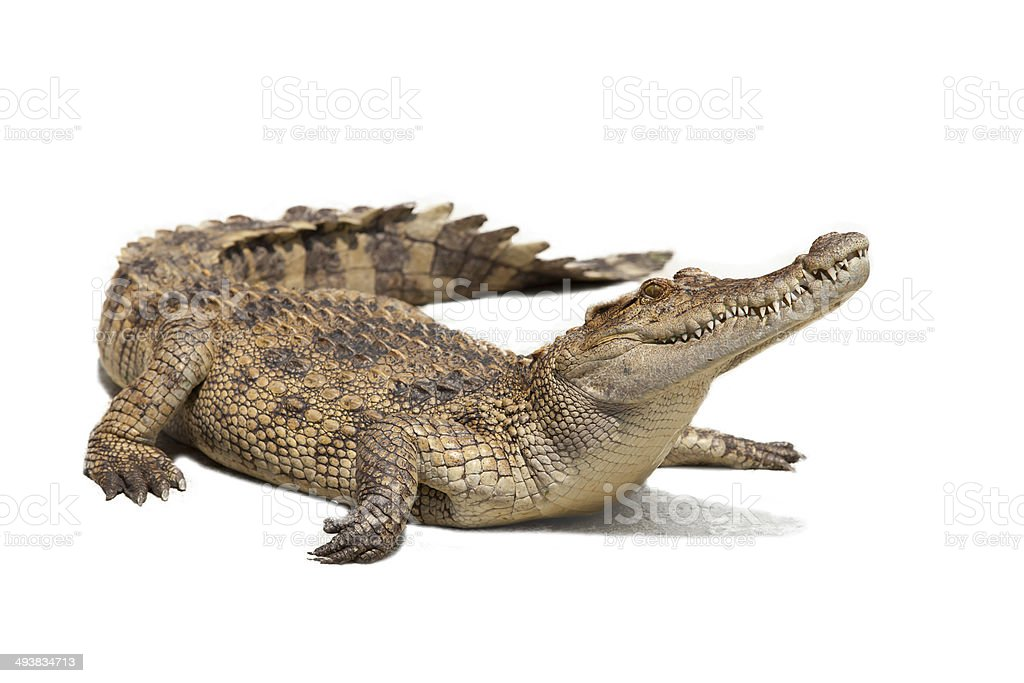 crocodile stock photo