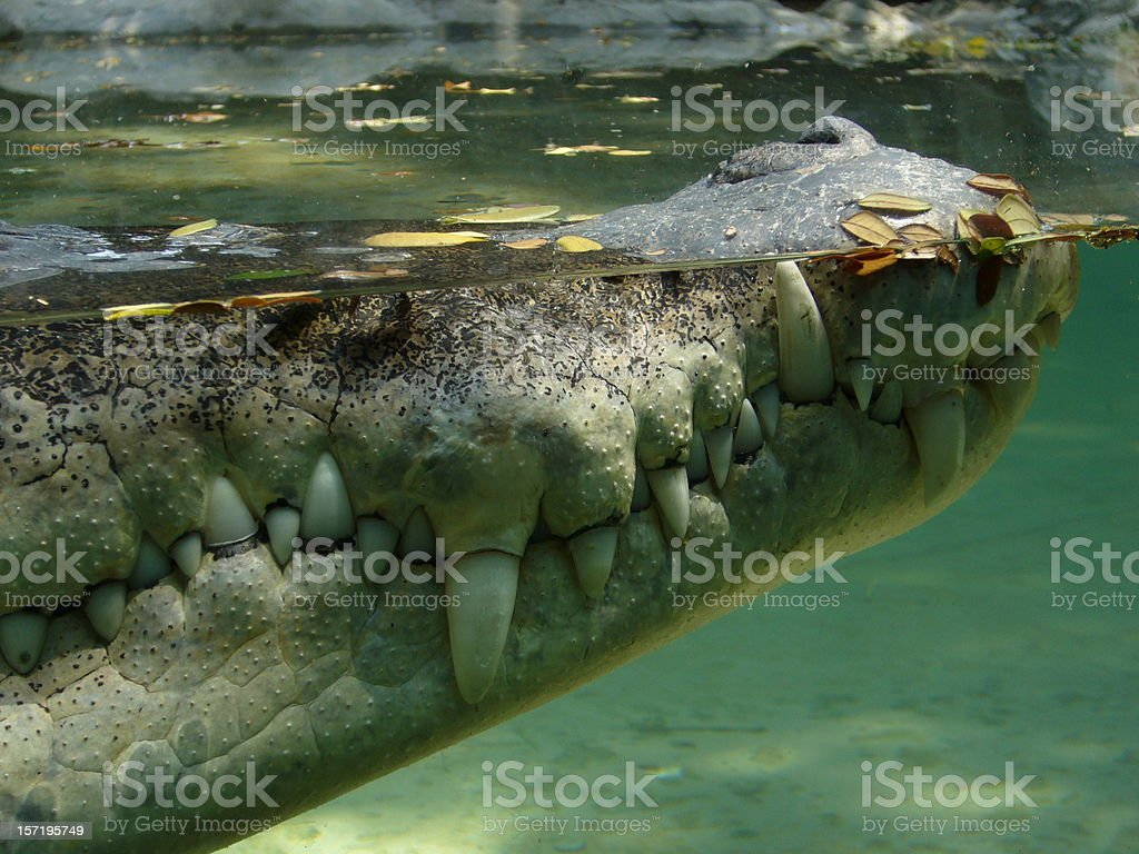 Crocodile profile stock photo
