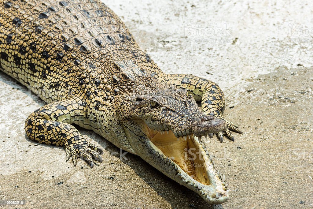 crocodile relax stock photo